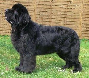 Razas de perro: el Terranova