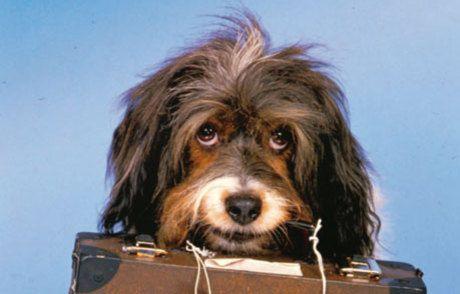 ¿Por qué adoptar a un perro adulto? 4