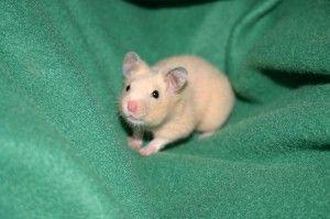 ¿Qué necesita un hamster para ser feliz?