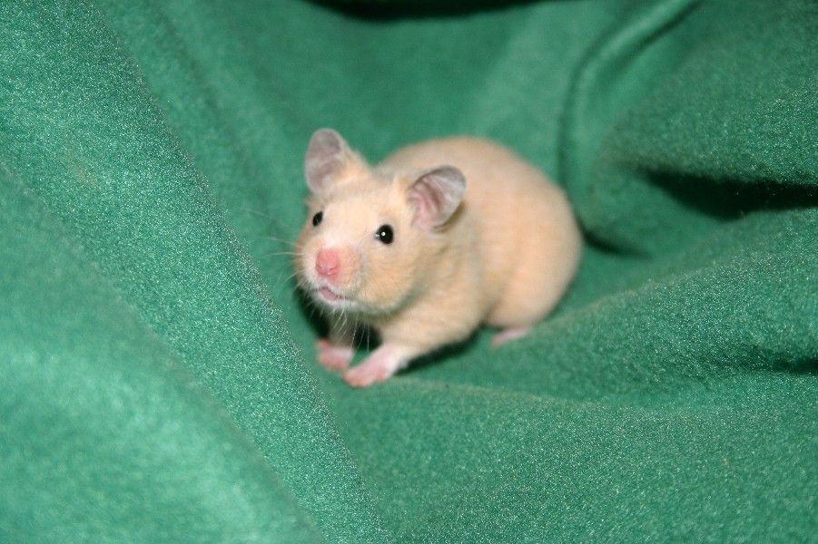 ¿Qué necesita un hamster para ser feliz? 2