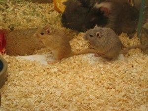 El jerbo, un ratoncito muy mono