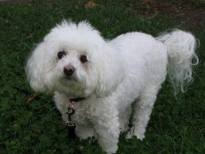 bichon frise By Editor at Large