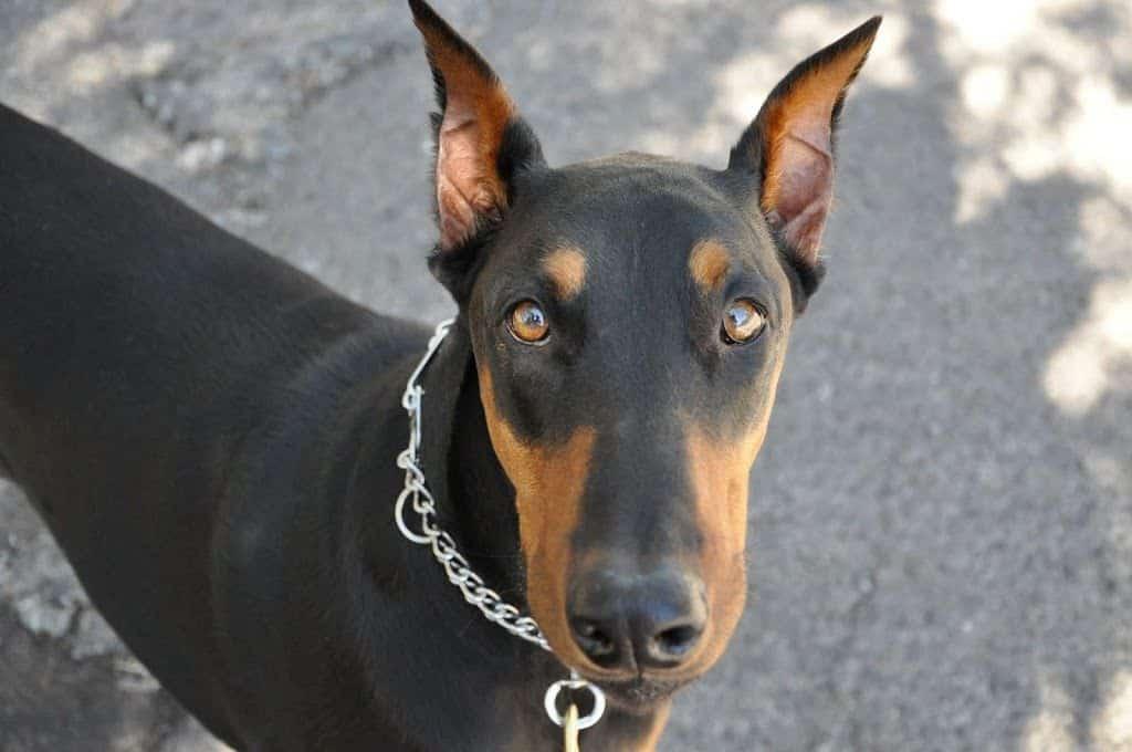 Razas de perro, hoy: el Dobermann