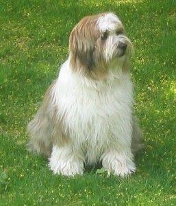 Terrier Tibetano By skaty222