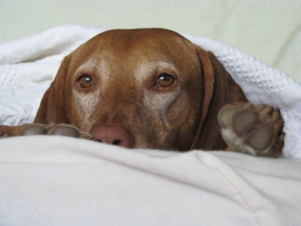 Tres falsos mitos sobre perros senior