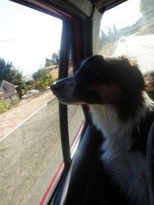 Como acostumbrar a tu perro a viajar en coche