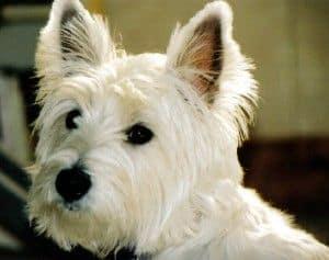 Razas de perro, hoy: el Welsh Highland White Terrier