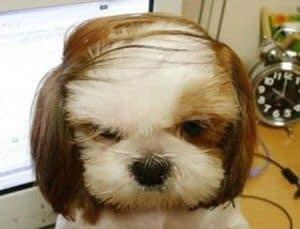 perro cortinilla