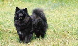 Perro sueco de Laponia by Eva Maria Kramer