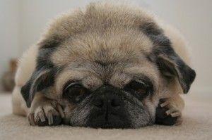 Conjuntivitis canina