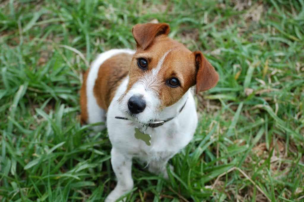 Razas de perros, hoy: el Jack Russell Terrier 4