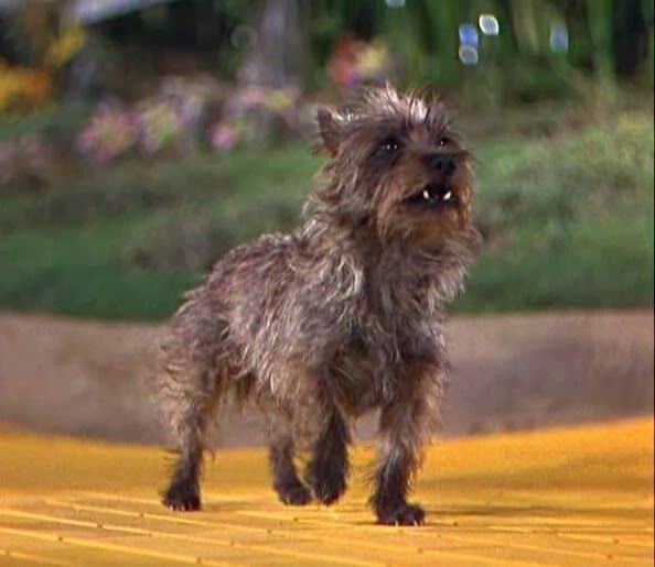 Perros estrella: Totó 2