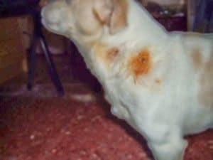 Yacky herido por otro perro