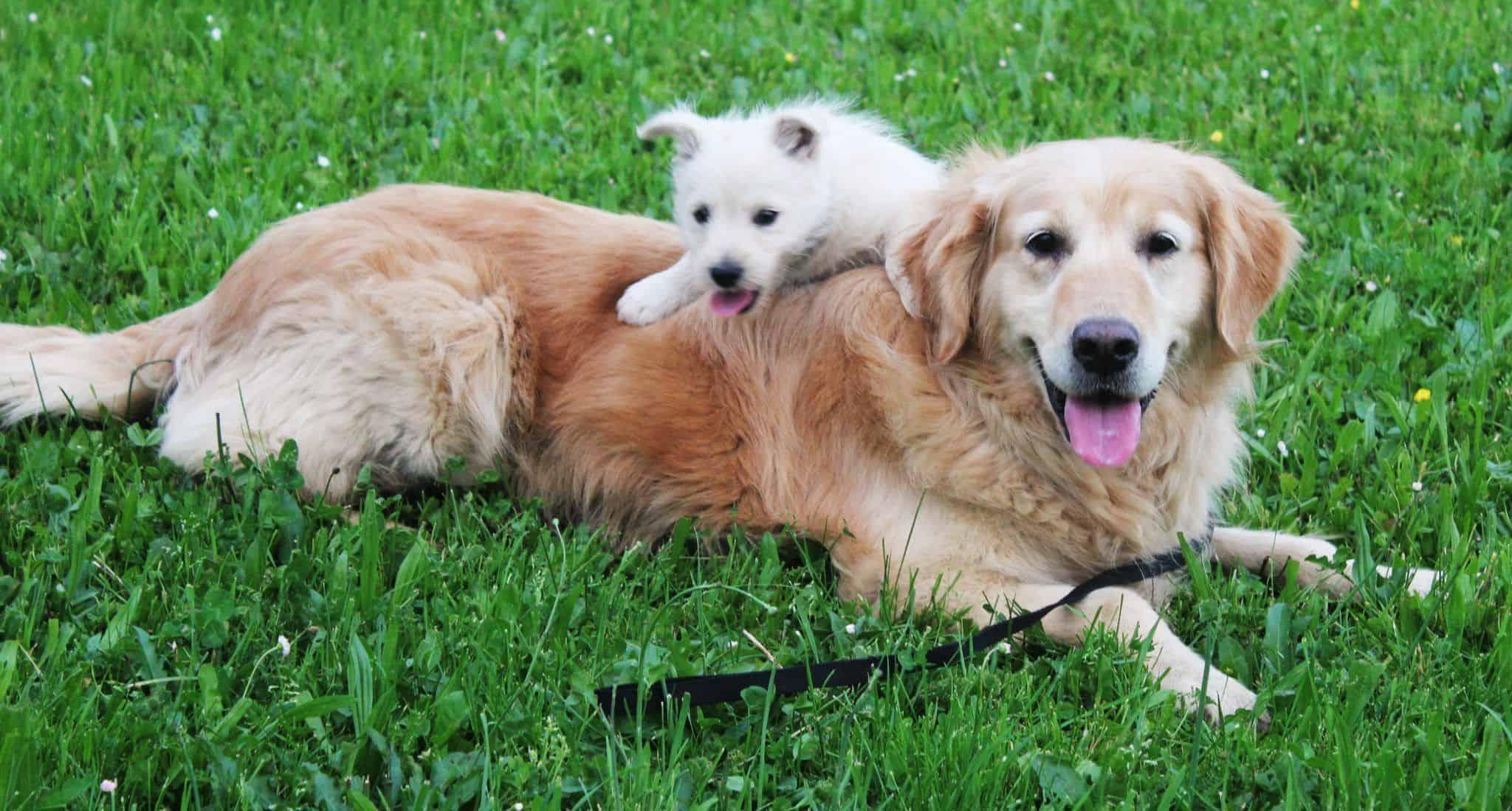 Golden con cachorro