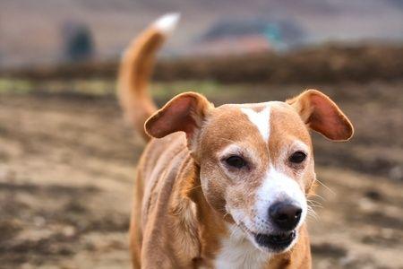 Perro mestizo marrón
