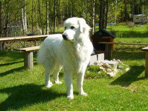 Razas de perros: Montaña de los Pirineos