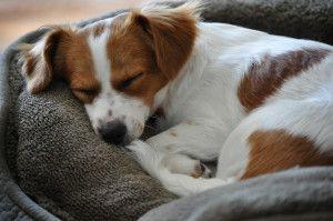 3 falsos mitos sobre el sueño canino