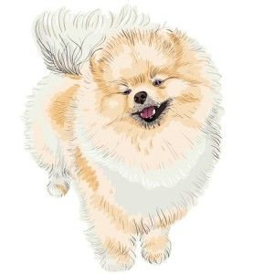 Razas de perros: Lulú de Pomerania