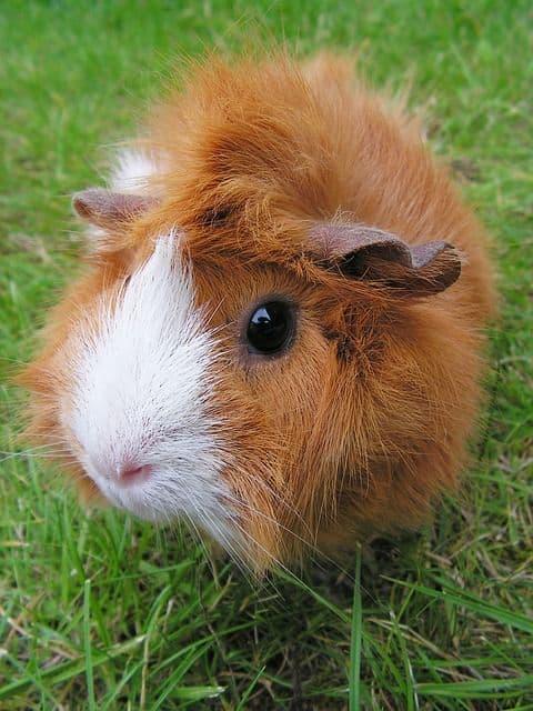 Cobaya, un roedor lleno de amor