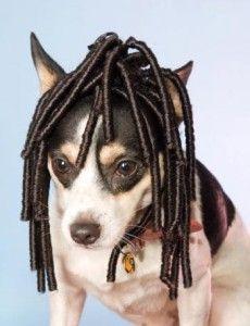 Pelucas para perros, una moda bastante ridícula