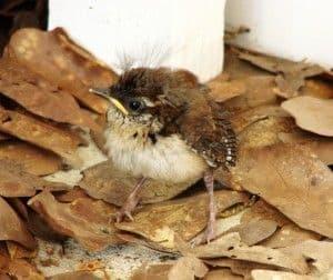 Qué se debe hacer si encuentras un polluelo en la calle