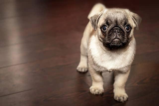 Los perros detectan la hipoglucemia