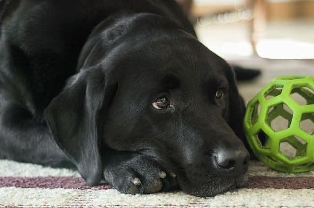 Labrador tumbado