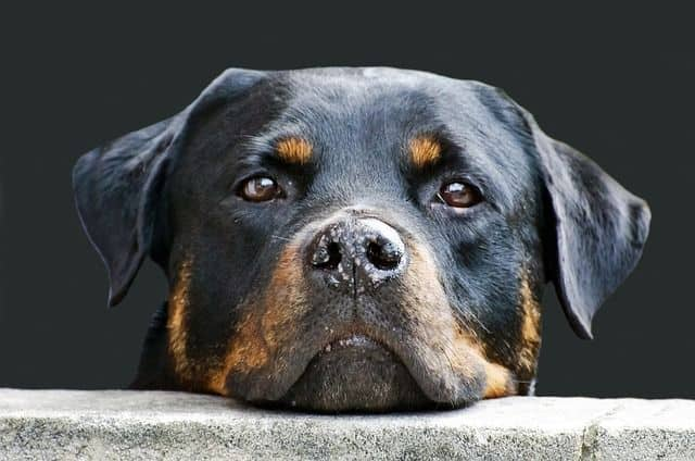 Rottweiler adulto