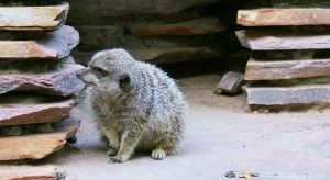 comprar suricato