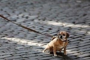 infeccion orina perros