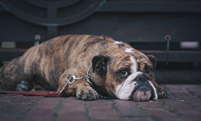 ¿Tu perrito se ve triste y sin ganas de hacer? Tal vez tenga una infección urinaria.