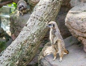 Un suricato en casa