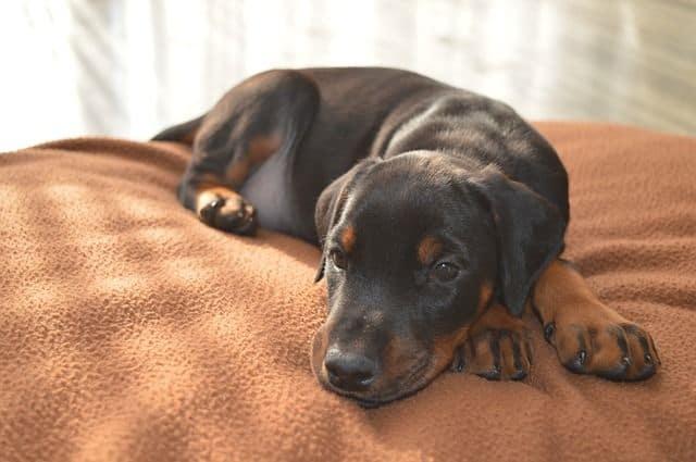 Indigestión en perros, un problema bastante común