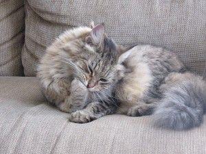 ¿Por qué se limpian tanto los gatos?