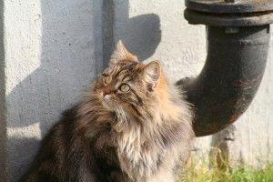 Maine Coon, el rey de los gatos