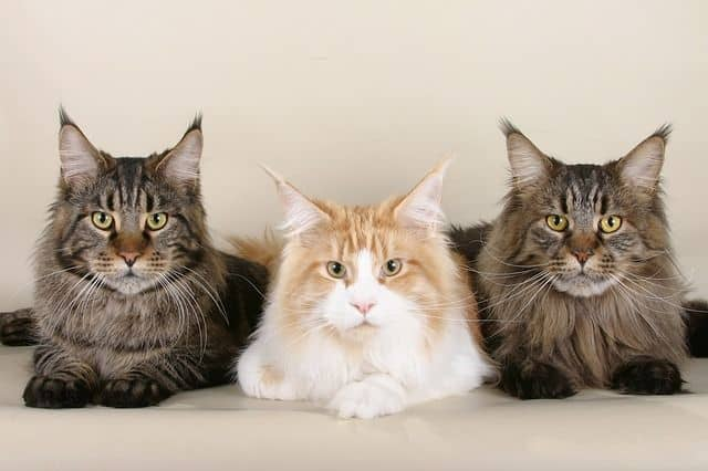 Maine Coon trio