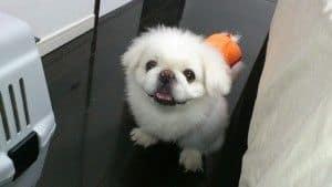 Razas de perros: el Pequinés