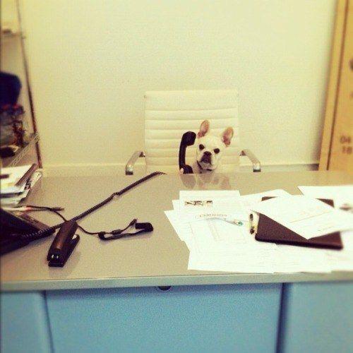 Bulldog francés oficinista
