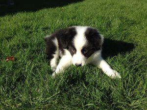 ¿Por qué comen los perros hierba?