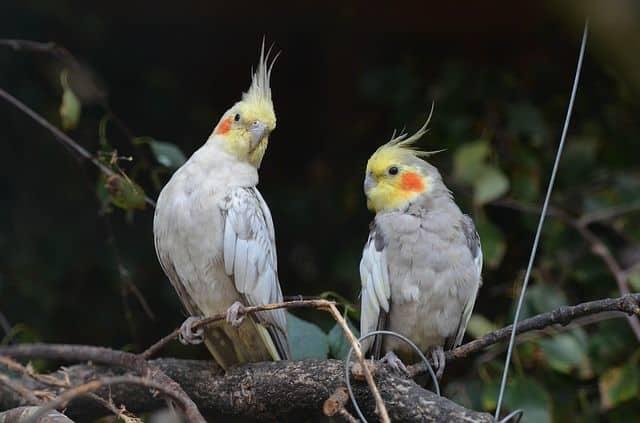 Ninfa, un ave muy fácil de cuidar
