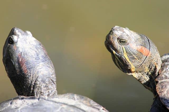 Por qué no deben abandonarse las tortugas de Florida