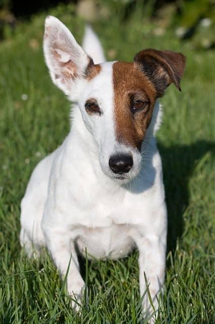 Fox terrier pelo corto