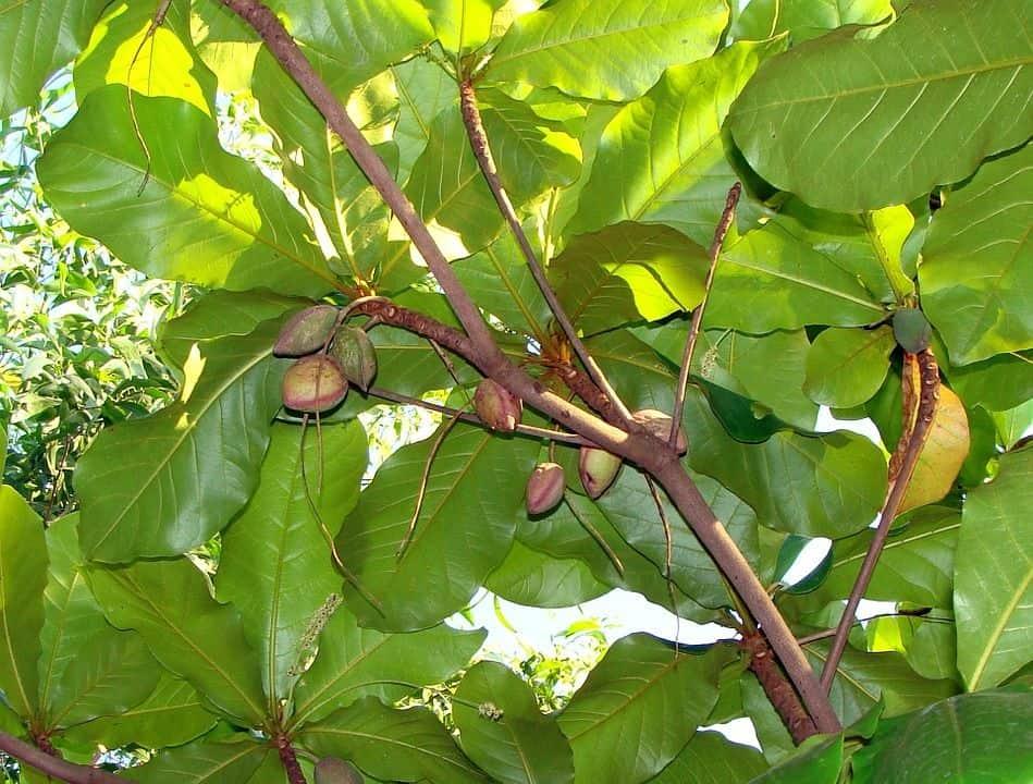 ¿Para qué sirven las hojas del Terminalia Catappa en acuarios?