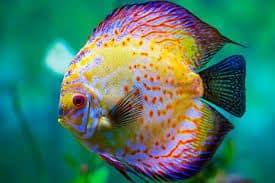 criar peces disco