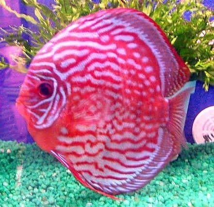 Todo lo que debes saber sobre la cría de peces disco