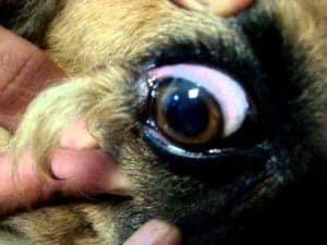 comprobar conjuntivitis canina