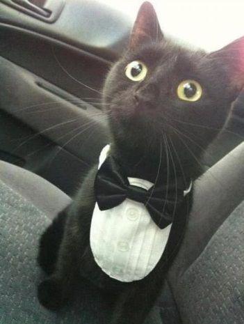 Gato elegante