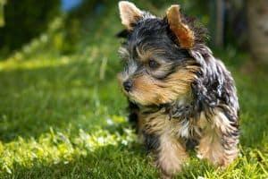 cachorro yorkshire para adoptar