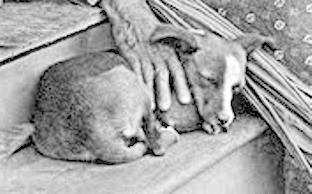 Caninos historicos listados como extintos 4