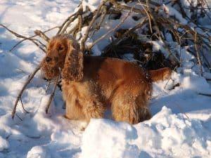 Cocker en la nieve